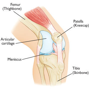 anatomical picture of the patella knee joint